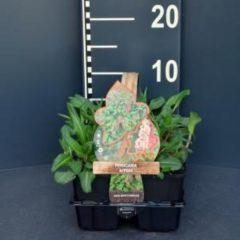 Plantenwinkel.nl Duizendknoop (persicaria affinis) bodembedekker - 6-pack - 1 stuks