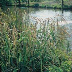 Moerings waterplanten Hangende zegge (Carex pendula) moerasplant - 6 stuks