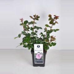 """Plantenwinkel.nl Grootbloemige roos (rosa """"Blue Girl""""®) - C5 - 1 stuks"""