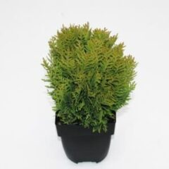 "Plantenwinkel.nl Westerse levensboom (Thuja occidentalis ""Danica"") conifeer - 6 stuks"