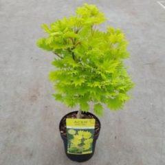 MyPlantshop.eu Acer shirasawanum 'Aureum'; Totale hoogte 50-60cm incl. Ø 19cm pot | Japanse esdoorn | Goudgeel
