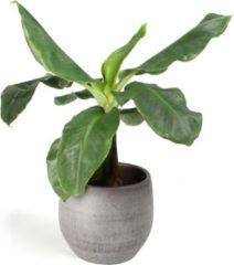 Grijze Plantenwinkel.nl All in 1 kamerplant Bananenplant Musa dwarf cavendish XS in mystic grey bloempot