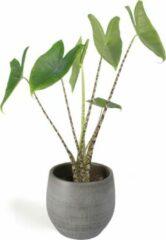 Grijze Plantenwinkel.nl All in 1 kamerplant Alocasia zebrina XS in mystic grey bloempot