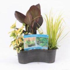 Moerings waterplanten Mix waterplanten in ovale vijvermand - 3 stuks