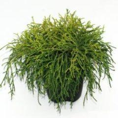 "Plantenwinkel.nl Schijncipres (Chamaecyparis pisifera ""Sungold"") conifeer - 6 stuks"