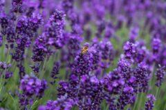 De wereld van thee Bloementhee Lavendel