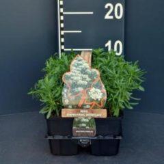 """Plantenwinkel.nl Scheefkelk (iberis sempervirens """"Snowflake"""") bodembedekker - 6-pack - 1 stuks"""