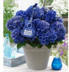 """Plantenwinkel.nl Hydrangea Macrophylla Music Collection """"Blue Boogiewoogie""""® boerenhortensia - 25-30 cm - 1 stuks"""