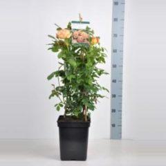 "Plantenwinkel.nl Engelse klimroos (rosa ""Lady of Shalott""®)"