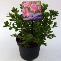 "Plantenwinkel.nl Rododendron (Rhododendron Japonica ""Geisha Pink"") heester - 15-20 cm - 8 stuks"