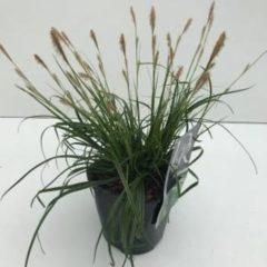 """Plantenwinkel.nl Zegge (Carex oshimensis """"Everlime"""") siergras - In 2 liter pot - 1 stuks"""