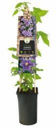 "Afbeelding van Plantenwinkel.nl Paarse bosrank (Clematis ""Barbara Jackman"") klimplant - 4 stuks"