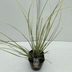 "Plantenwinkel.nl Dwergpampasgras (Cortaderia selloana ""Mini Gold Pampas"") - In 5 liter pot - 1 stuks"