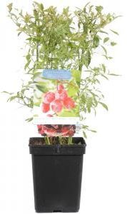 """Afbeelding van Plantenwinkel.nl Bosbes (vaccinium corymbosum """"Pink Lemonade"""") fruitplanten - 3 stuks"""