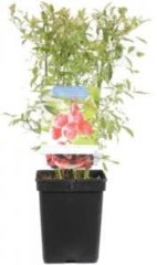 "Plantenwinkel.nl Bosbes (vaccinium corymbosum ""Pink Lemonade"") fruitplanten - 3 stuks"