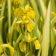 """Moerings waterplanten Bonte gele iris (Iris pseudacorus """"variegata"""") moerasplant - 6 stuks"""
