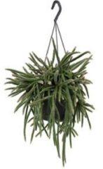Plantenwinkel.nl Rhipsalis horrida S hangplant
