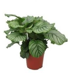 Plantenwinkel.nl Calathea orbifolia kamerplant