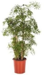 Plantenwinkel.nl Polyscias aralia ming L kamerplant