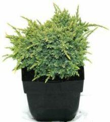 "Plantenwinkel.nl Jeneverbes (Juniperus squamata ""Holger"") conifeer - 6 stuks"