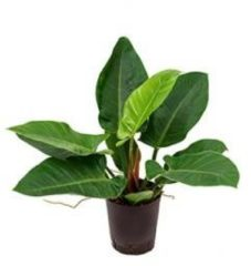 Plantenwinkel.nl Philodendron imperial groen S hydrocultuur plant