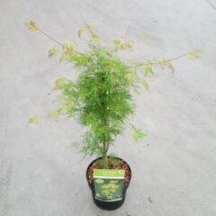 "Plantenwinkel.nl Japanse esdoorn (Acer palmatum ""Emerald Lace"") heester - 3 stuks"