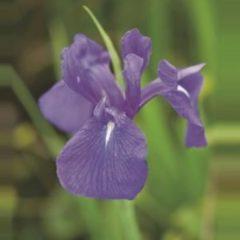 """Moerings waterplanten Blauwe Japanse iris (Iris Laevigata """"Blue"""") moerasplant - 6 stuks"""
