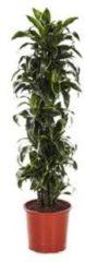 Plantenwinkel.nl Dracaena dorado XL kamerplant