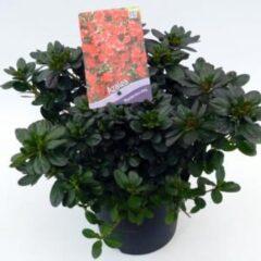 "Plantenwinkel.nl Rododendron (Rhododendron Japonica ""Muttertag"") heester - 3 stuks"