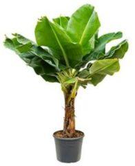 Plantenwinkel.nl Bananenplant Musa dwarf cavendish XL2 kamerplant