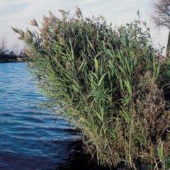 Moerings waterplanten Riet (Phragmites Australis) moerasplant - 6 stuks