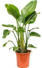 Plantenwinkel.nl Strelitzia nicolai XL kamerplant