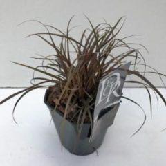 "Plantenwinkel.nl Rode zegge (Uncinia uncinata ""Rubra"") siergras - 6 stuks"