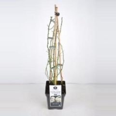 "Plantenwinkel.nl Rambler klimroos (rosa rambler ""Guirlande d'Amour""®) - C5 - 1 stuks"