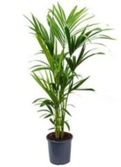 Plantenwinkel.nl Kentia Palm howea forsteriana 5pp L kamerplant