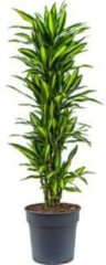 Plantenwinkel.nl Dracaena cintho XL kamerplant