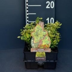 "Plantenwinkel.nl Kardinaalsmuts (euonymus fortunei ""Emerald 'n Gold"") bodembedekker - 6-pack - 1 stuks"