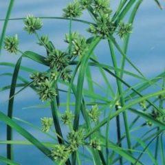 Moerings waterplanten Parapluplant (Cyperus alternifolius) moerasplant - 6 stuks