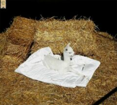 Witte AlpacaCOMFORT® Alpaca dekbed zomer 2.40 x 2.00