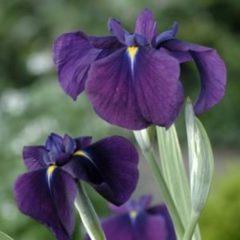 "Moerings waterplanten Bonte Japanse iris (Iris ensata ""Variegata"") moerasplant - 6 stuks"