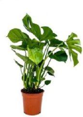 Groene Plantenwinkel.nl Philodendron Monstera pertusem M gatenplant kamerplant