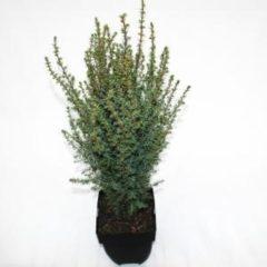 """Plantenwinkel.nl Jeneverbes (Juniperus communis """"Arnold"""") conifeer - 6 stuks"""