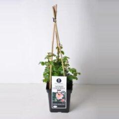 "Plantenwinkel.nl Tros klimroos (rosa ""Astrid Lindgren""®)"
