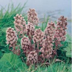 Moerings waterplanten Groot hoefblad (Petasites hybridus) moerasplant - 6 stuks