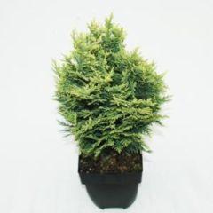 "Plantenwinkel.nl Schijncipres (Chamaecyparis lawsoniana ""White Spot"") conifeer - 6 stuks"