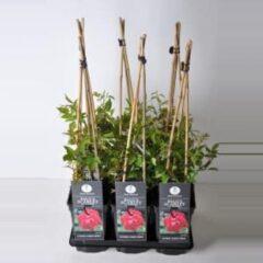 "Plantenwinkel.nl Klimroos (rosa ""Paul's Scarlet Climber"")"