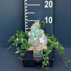 Plantenwinkel.nl Kleine maagdenpalm (vinca minor) bodembedekker - 6-pack - 1 stuks