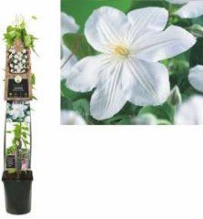"Plantenwinkel.nl Witte bosrank (Clematis ""Madame le Coultre"") klimplant - 120 cm - 1 stuks"