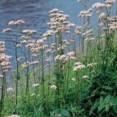 Moerings waterplanten Echte valeriaan (Valeriana officinalis) moerasplant - 6 stuks