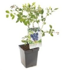 """Plantenwinkel.nl Bosbes (vaccinium corymbosum """"Jersey"""") fruitplanten - In 5 liter pot - 1 stuks"""